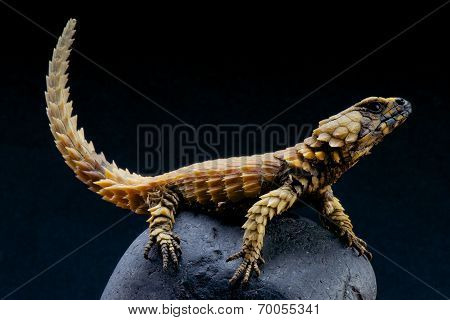 Armadillo lizard / Cordylus cataphractus