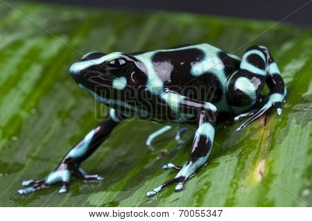 Green and black poison frog / Dendrobates auratus