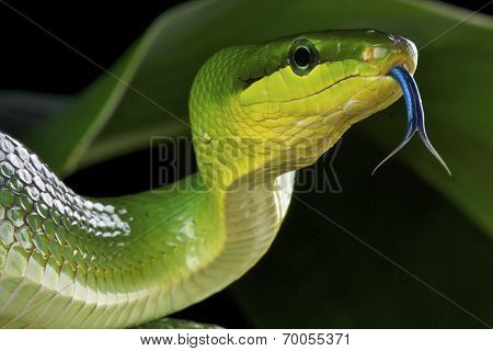Green rat snake / Gonyosoma oxycephalum