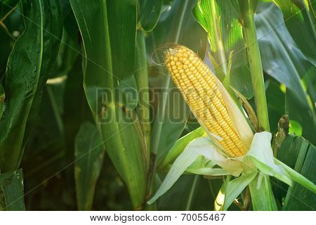 Corn Maize Ear On Stalk In Field