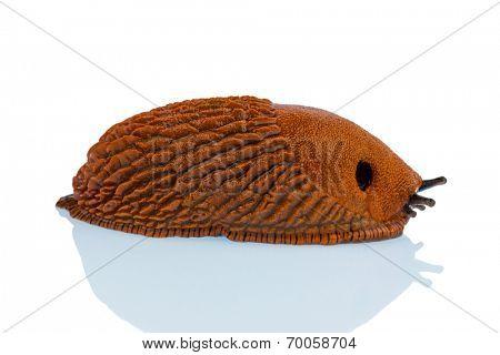 a slug crawls around on a white background.