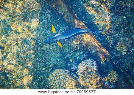 blue parrotfish top view