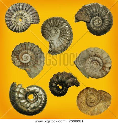 Different genres of ammonites