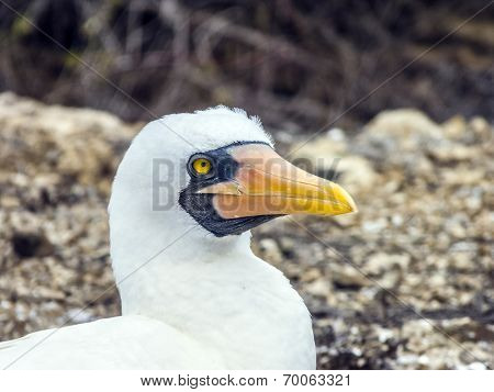 Close Up Of  Masked Boobie At Galapagos Island Of North Seymour
