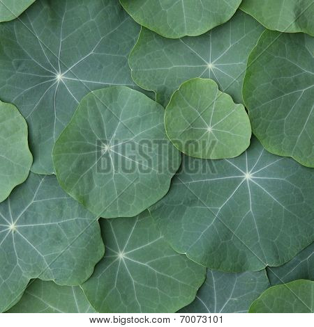 Green Nasturtium leaves