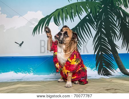 Bulldog on beach scene waving
