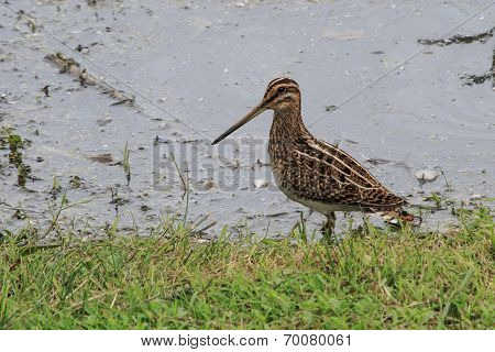 A Common Snipe