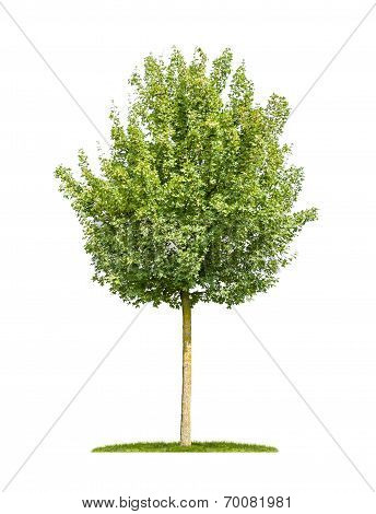 isolated field maple tree on a white background