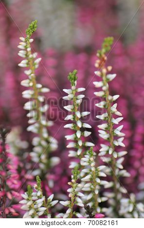 Calluna Vulgaris In White And Purple