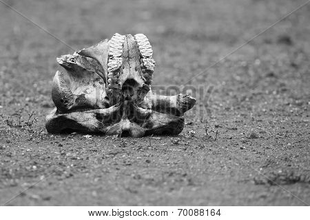 Elephant Skull Laying On Dry Ground In Harsh Sun Artistic Conversion