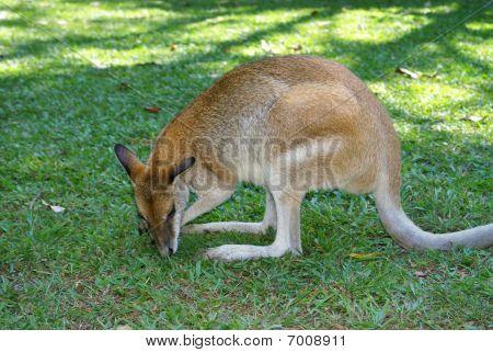 Kangaroo In  Zoo (australian Zoo, Queensland, Australia)