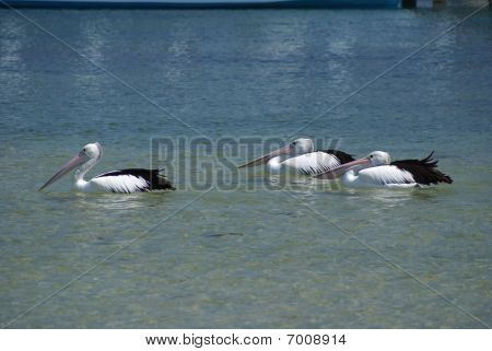 Group Of 3 Pelicans