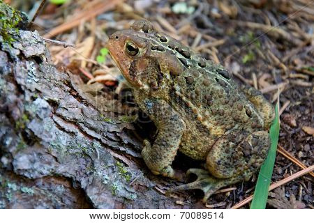 Forrest Toad