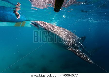 Local man feeding whale sharks (Rhincodon typus) from a boat to attract animals while tourists watching them. Oslob, Philippines
