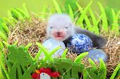 foto of ferrets  - Two weeks old cute ferret baby in the nest of hay with decorations