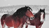 stock photo of clydesdale  - Clydesdales Captain and Chief on a snowy winter day in the country  - JPG