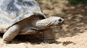pic of carapace  - Details of a Aldabra giant tortoise in nature - JPG
