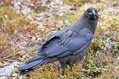 picture of creeper  - An old Raven - JPG