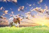 image of texas-longhorn  - Female Longhorn cow in a Texas pasture at sunrise - JPG