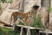 image of tigress  - the bengal tiger resting in the zoo - JPG
