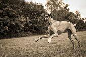 stock photo of great dane  - Great Dane clumsily running in field in sepia  - JPG