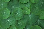 picture of nasturtium  - Green Nasturtium leaves - JPG