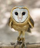 image of owls  - A barn owl - JPG