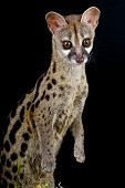 image of nocturnal animal  - The Genet is a secretive nocturnal predator - JPG