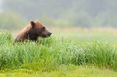 foto of omnivores  - Grizzly Bear sitting in high grass overlooking the environment - JPG