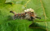 foto of moth larva  - A hairy vividly coloured Vapourer moth caterpillar - JPG