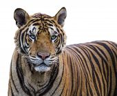 image of tigress  - Tiger portrait of a Bengal tiger on isolate background - JPG