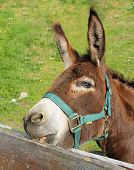 picture of nibbling  - brown donkey nibbling on the wooden fence - JPG