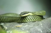 foto of tree snake  - Close up Golden tree snake relax on the rock
