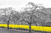 stock photo of rape-field  - Shining yellow oilseed rape fields and blossoming apple trees in a black and white landscape - JPG