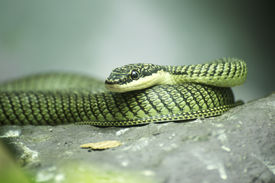 image of tree snake  - Close up Golden tree snake relax on the rock