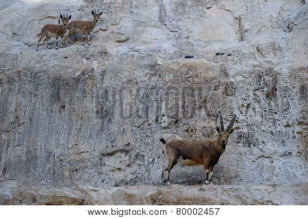 Ibex And Antelopes