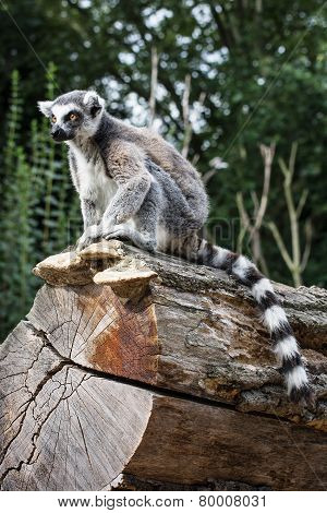 Watchful Ring-tailed Lemur Sitting On The Tree Trunk