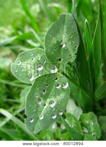 cloverleaf covered with drops of water