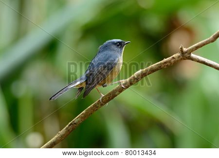 Male Slaty-blue Flycatcher (ficedula Hodgsonii)