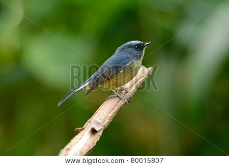 Male Slaty-blue Flycatcher (ficedula Hodgsonii)