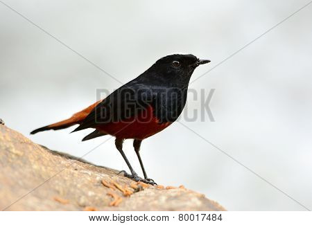 White-capped Water Redstart (chaimarrornis Leucocephalus)