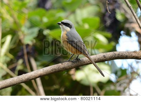Gray-backed Shrike (lunius Tephronotus)