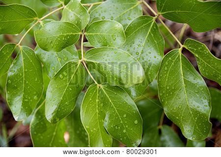 Shiny Brachystegia Leaves with Raindrops after a Thunder Storm, Malawi, Africa