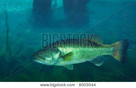 Suwannee Bass - Manatee Springs