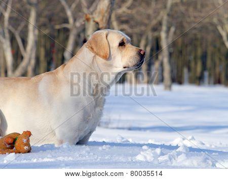Yellow Labrador In Winter In Snow Portrait