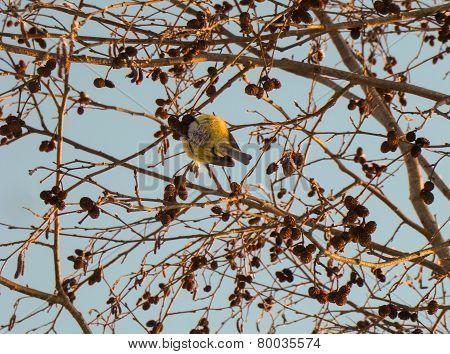 bird pecks seeds alder