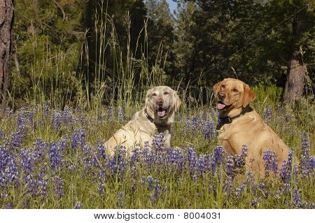 Two Labs In The Flowers