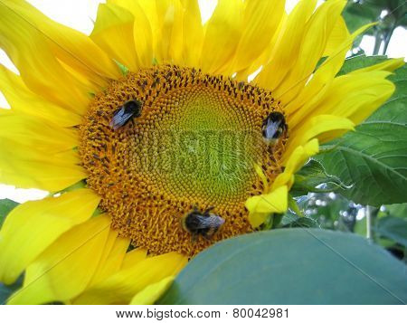 Big Yellow Sunflower And Bumblebees