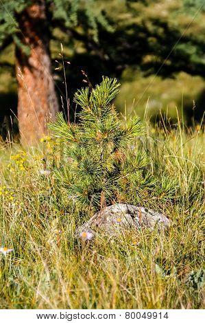 Little spruce