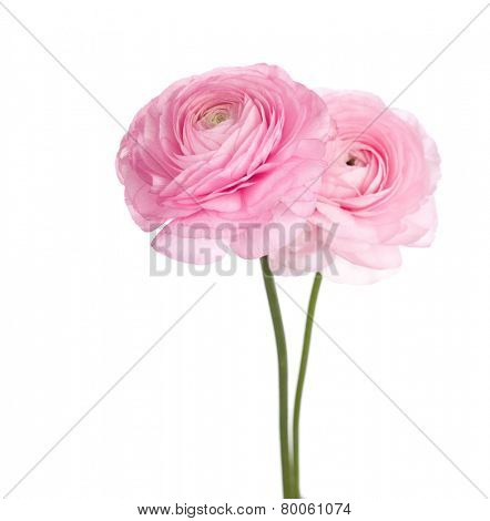 Two light pink  persian buttercup flowers.  (Ranunculus )